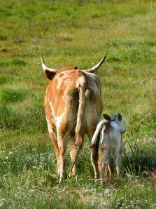 Longhorn cow and newborn calf