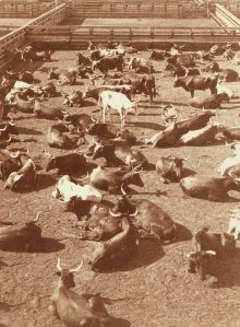 Texas cattle in the Union stock yards in Chicago