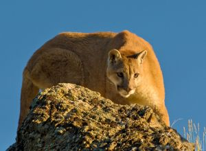 Mountain lions like to ambush from above