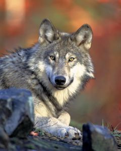 Wolves were perceived as one of the early settlers' main enemies