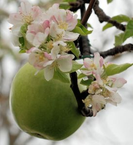 Apple and blossom