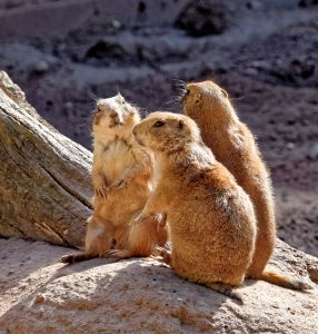 Gophers are social animals
