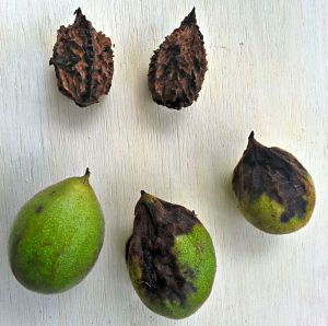 Walnuts were used to dye widows clothing black