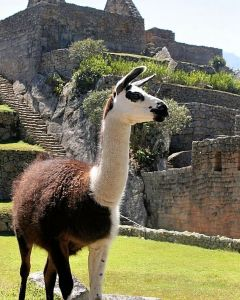 The llama, a cousin of the camel, thrived in South America