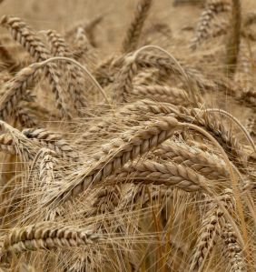 Wheat gradually became a more robust cereal during the course of the nineteenth century
