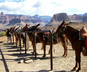 The surefootedness of mules is well known. These mules are being used for descents into the Grand Canyon